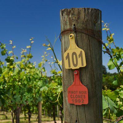 summertown-vineyard-5271